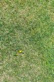 Flor do dente-de-leão da erva daninha no gramado verde grampeado imagens de stock