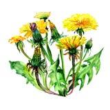 Flor do dente-de-leão do Wildflower em um estilo da aquarela isolada ilustração royalty free