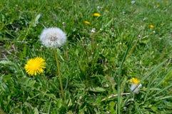 Flor do dente-de-leão na grama Foto de Stock