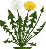 Flor do dente-de-leão. Vetor Fotos de Stock Royalty Free