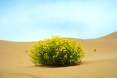 Flor do deserto Imagem de Stock Royalty Free