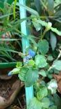 Flor do dia de Benghal ou benghalensis do judeu tropical do spiderwort ou do vagueamento ou do commenina Foto de Stock