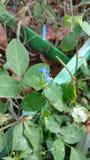 Flor do dia de Benghal ou benghalensis do judeu tropical do spiderwort ou do vagueamento ou do commenina Imagens de Stock