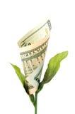 Flor do dinheiro Imagens de Stock Royalty Free