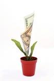 Flor do dinheiro Imagens de Stock