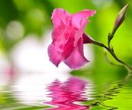 Flor do dipladenia da rosa do rosa fotos de stock royalty free