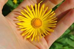 Flor do Doronicum Imagens de Stock Royalty Free