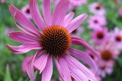 Flor do Echinacea fotografia de stock royalty free