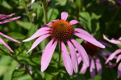 A flor do echinacea em toda a beleza foto de stock royalty free
