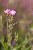 Flor do Epilobium Imagens de Stock