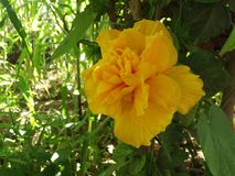 Flor do esplendor Imagens de Stock Royalty Free