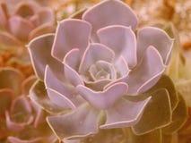 Flor do estilo do boho do houseleek de Suculent na cor retro imagens de stock