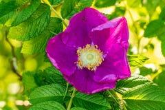 Flor do fim da Brier-rosa acima da vista foto de stock