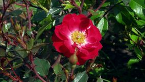 Flor do fim da rosa do vermelho acima Imagem de Stock Royalty Free