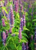 Flor do foeniculum gigante do Agastache do hyssop de anis fotos de stock royalty free