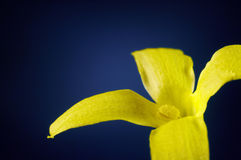 Flor do Forsythia Imagem de Stock
