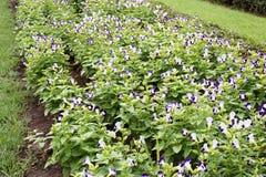 Flor do fournieri de Torenia Fotografia de Stock Royalty Free