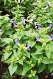 Flor do fournieri de Torenia Fotos de Stock