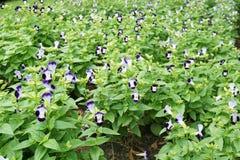 Flor do fournieri de Torenia Foto de Stock Royalty Free