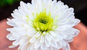 Flor do Fractal Foto de Stock