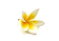 Flor do Frangipani Imagem de Stock Royalty Free