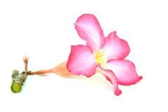 Flor do Frangipani Imagens de Stock