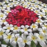 Flor do Frangipani Fotos de Stock Royalty Free