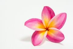 Flor do Frangipani bonita Imagens de Stock Royalty Free