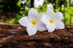 Flor do Frangipani em um log e em um fundo obscuro Fotos de Stock Royalty Free