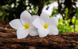 Flor do Frangipani em um log e em um fundo obscuro Imagens de Stock Royalty Free