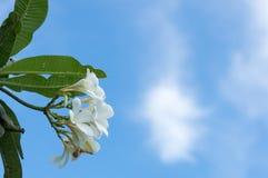 Flor do Frangipani, flor do plumeria, plumeria branco com fundo do céu azul Foto de Stock