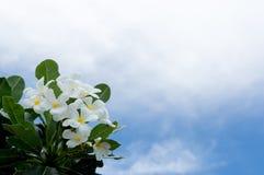 Flor do Frangipani, flor do plumeria, plumeria branco com fundo do céu azul Fotografia de Stock Royalty Free