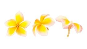 Flor do Frangipani isolada imagem de stock