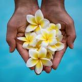 Flor do Frangipani nas mãos Fotografia de Stock Royalty Free