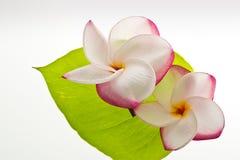 Flor do Frangipani/Plumeria fotografia de stock