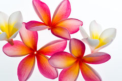 Flor do Frangipani/Plumeria Foto de Stock Royalty Free