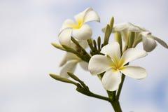 Flor do Frangipani (Plumeria) igualmente conhecida como um branco de Singapura imagens de stock royalty free