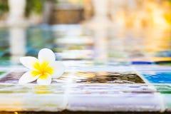 flor do frangipani que coloca na água perto do po nadador fotografia de stock royalty free