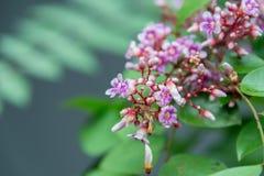 Flor do fruto de estrela Fotografia de Stock Royalty Free