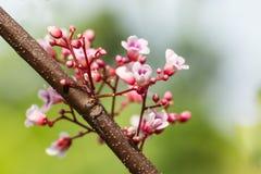 Flor do fruto de estrela com luz suave Fotografia de Stock