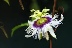 Flor do fruto de paixão imagens de stock royalty free