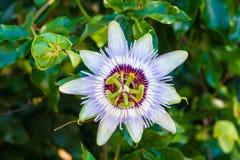 Flor do fruto de paixão Imagem de Stock