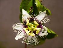 Flor do fruto de paixão fotografia de stock