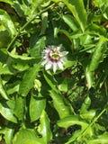 Flor do fruto de paixão Foto de Stock Royalty Free