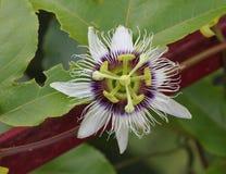 Flor do fruto de paixão do Passiflora foto de stock royalty free