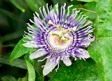 Flor do fruto de paixão Imagem de Stock Royalty Free