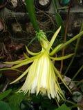 Flor do fruto do dragão imagens de stock royalty free