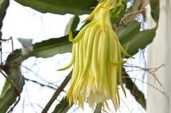Flor do fruto do dragão que floresce na árvore naughty imagens de stock royalty free