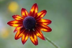 Flor do fulgida do Rudbeckia Fotos de Stock Royalty Free