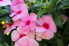 Flor do fundo e luz cor-de-rosa 81 do sol Imagem de Stock Royalty Free